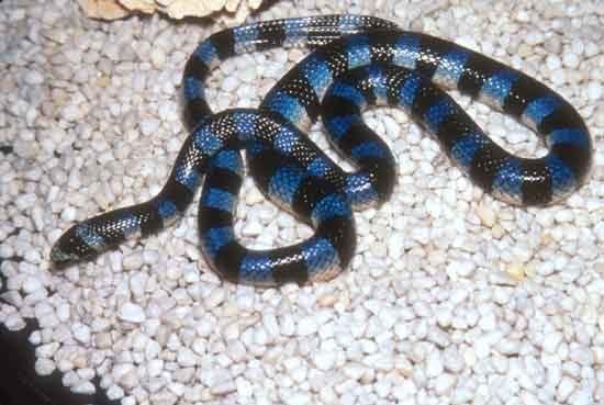 Most Poisonous Blue Krait Snakes