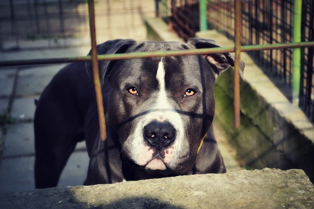 Pitbull deadly dogs