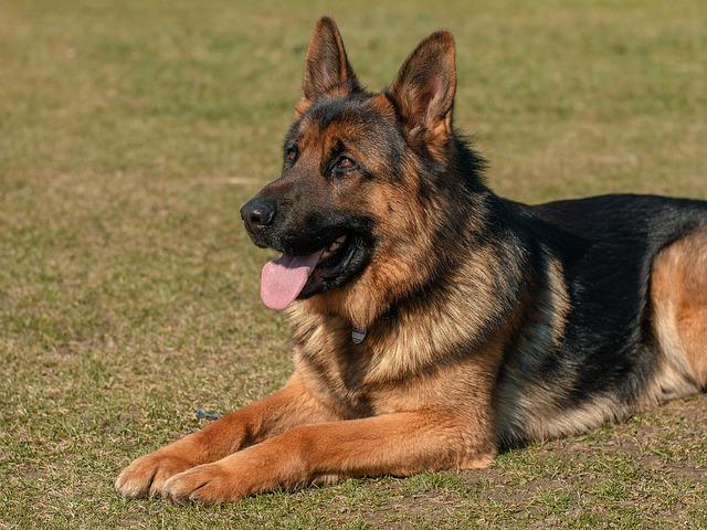 German Shepherd deadly dogs