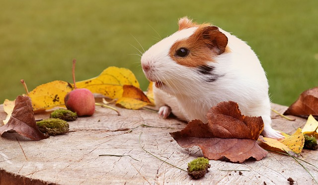 Uncommon Animals That Make Great Pets - Guinea Pigs