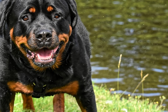 Rottweiler deadly dogs