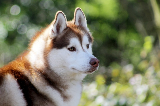Siberian Husky deadly dogs