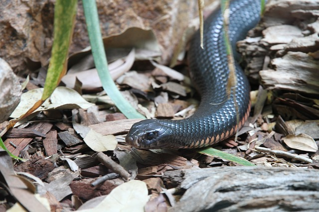 Most Poisonous Inland Taipan Snakes