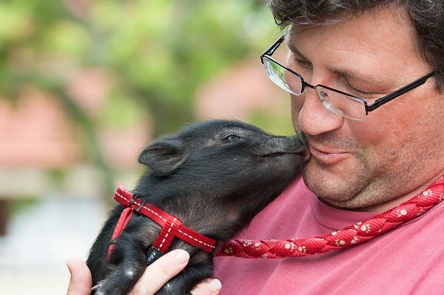 A Pig hugging his owner