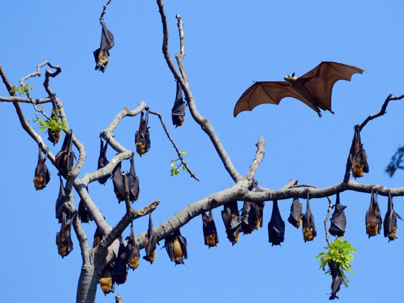 Gigantic Animals_Mega Bats