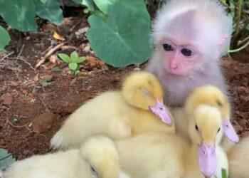 Baby Monkey & Ducklings